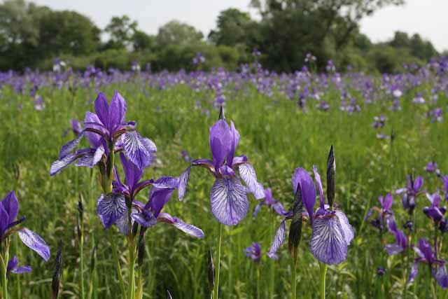 Eriskircher Ried mit blühenden Iris bzw. Schwertlilien
