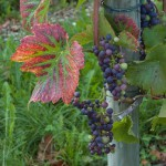 Weintraube aus einem Weingarten in Hagnau