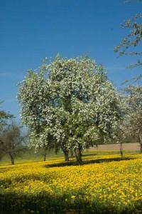 Ein kugelrunder Apfelbaum voller weisser Blüten, auf gelb blühender Wiese vor tiefblauem Himmel, Thurgau.