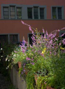 Im Bildhintergrund ist die Fensterfront des ehemaligen Konvents von Sant Vrenen in Zürich zu sehen. Vordergründig leuchten Blumen und Kräuter im Sonnenlicht